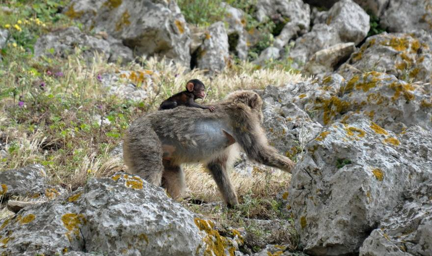 Adult Barbary macaque carrying its baby on the back, Jbel Moussa, Morocco.