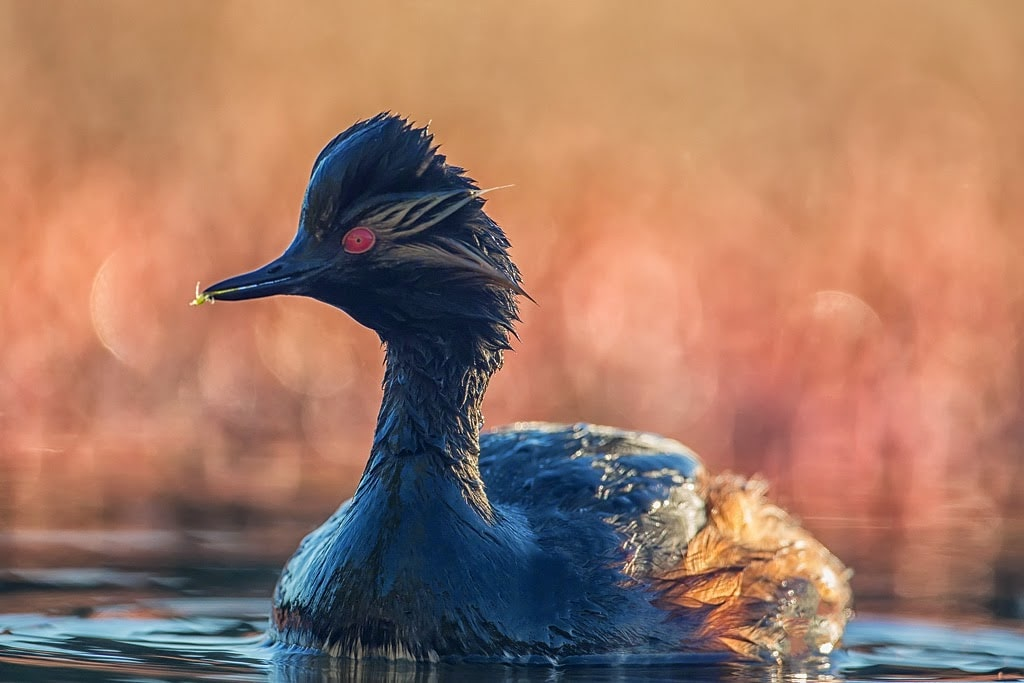 A Black-necked Grebe in all its beauty, Dayet Aoua, Morocco, spring 2013 (Saad Rih Wildlife Photography).
