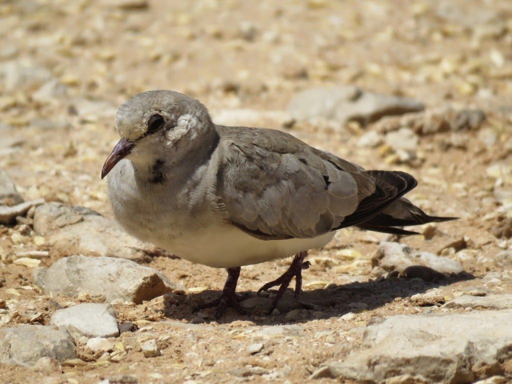 Namaqua Dove (Oena capensis) at the Safia Acclimatisation Station, Western Sahara, southern Morocco, 22 May 2015 (Abdeljebbar Qninba)