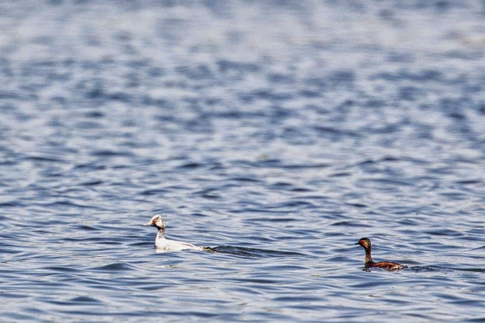 Black-necked Grebe (Podiceps nigricollis) affected by progressive greying, Dayet Aoua, Morocco, May 2015 (Saad Rih Wildlife Photography).
