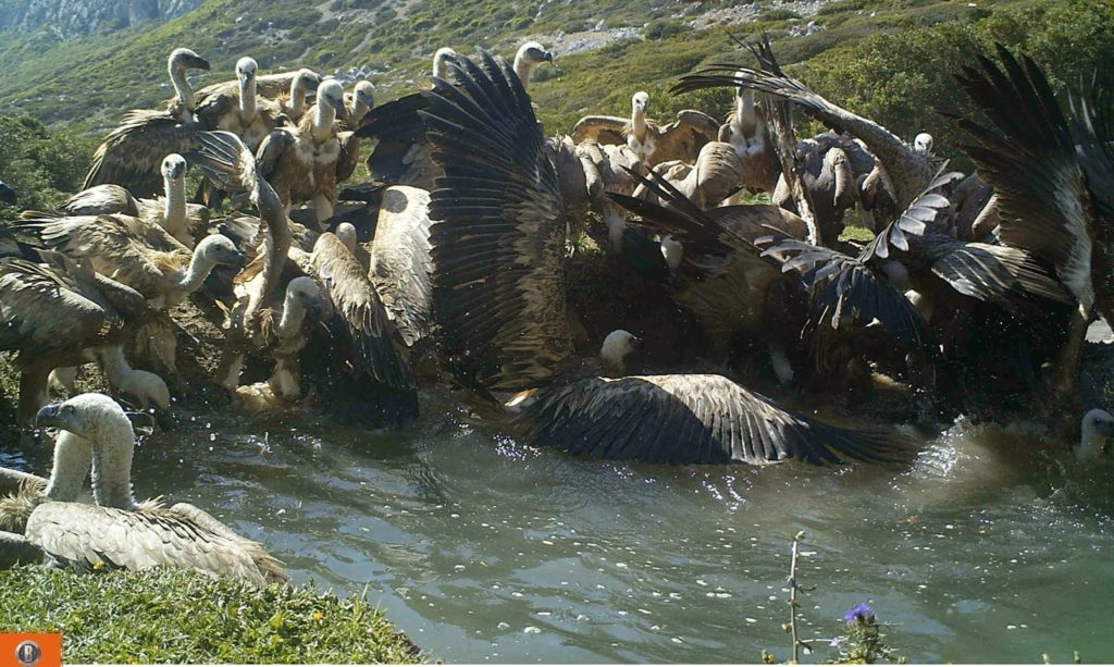 Griffon Vultures (Gyps fulvus) drinking and bathing, Jbel Moussa, northern Morocco, 8 May 2015.