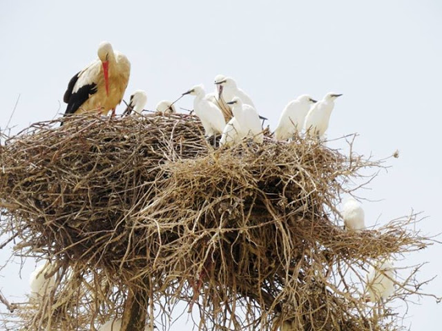Adult White Stork, its 2 juveniles and several juveniles of Cattle Egrets, Azrou, Middle Atlas (Jacques Franchimont)