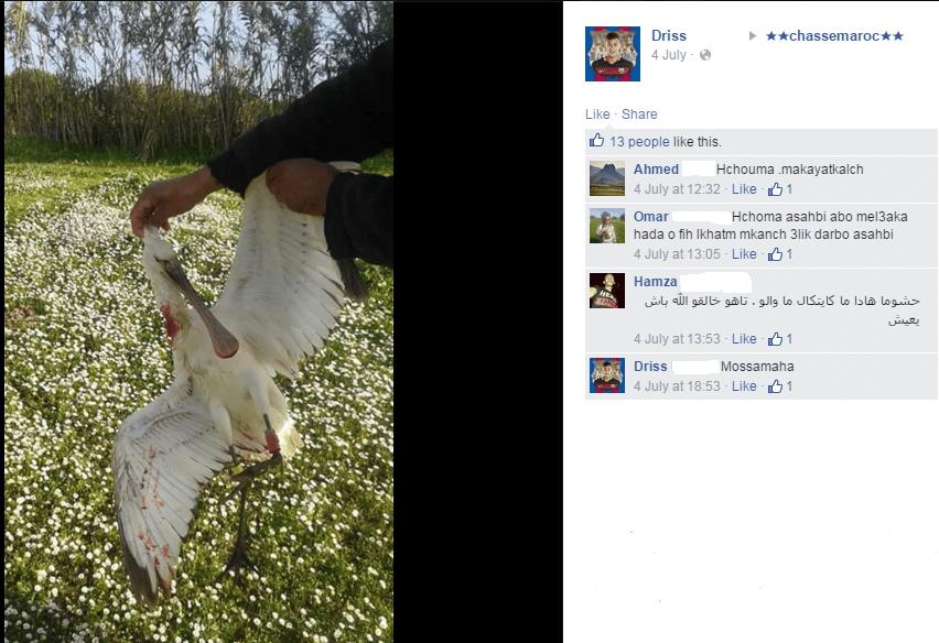 Spatule blanche (Platalea leucorodia) baguée au Pays-Bas et fusillée au Maroc par un chasseur