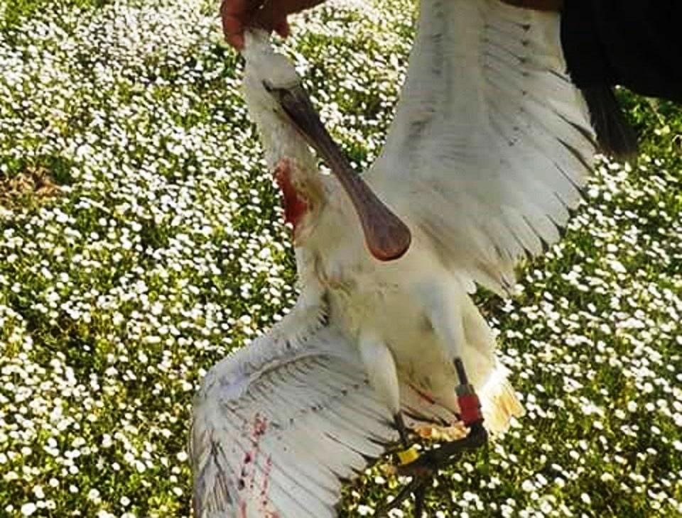 Dutch-ringed Spoonbill (Platalea leucorodia) shot in Kenitra region, Morocco (hunter's facebook account).