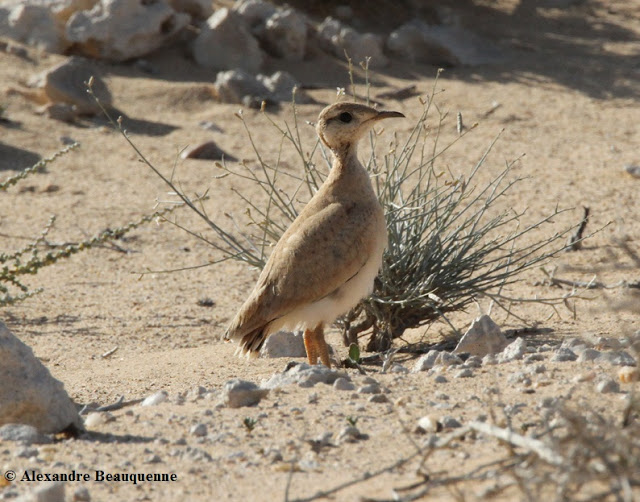 Juvenile Cream-coloured Courser (Cursorius cursor) at Oum el Hajj, near Merzouga, Morocco, 14 December 2010