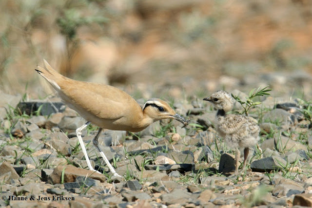Adult Cream-coloured Courser (Cursorius cursor) feeding a small chick at Hadibo, Socotra Island, Yemen, 13 January 2006