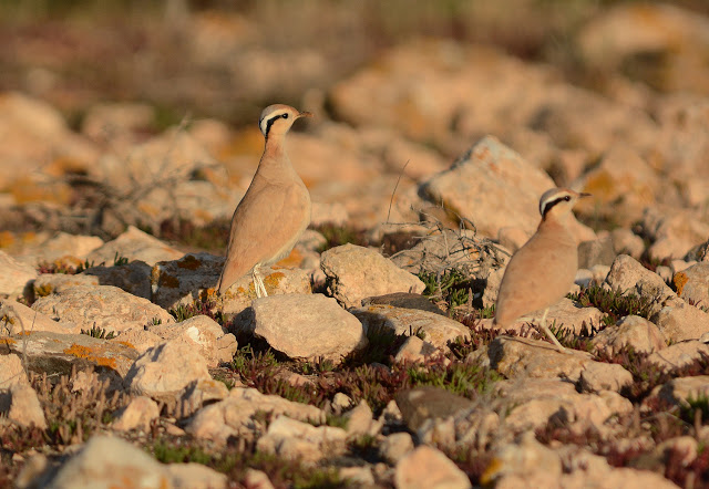 Adults Cream-coloured Courser: parents of the chick above, Fuerteventura (Canary Islands), 15 February 2015 (Juan José Ramos / Birding Canarias).