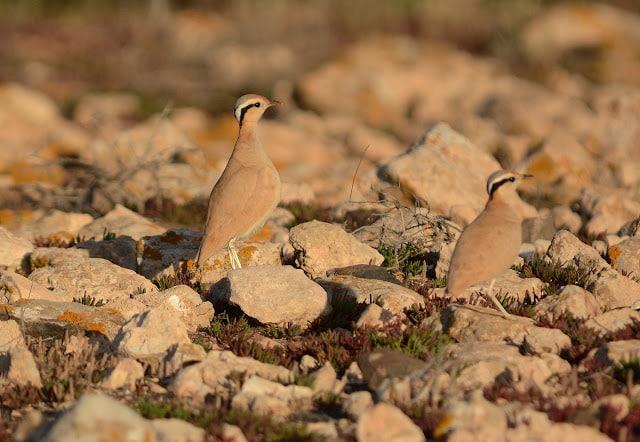 Adults Cream-coloured Courser: parents of the chick above, Fuerteventura (Canary Islands), 15 February 2015 (Juan José Ramos / Birding Canarias).