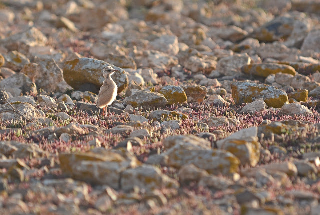 Chick of Cream-coloured Courser (about 10 days), Fuerteventura (Canary Islands), 15 February 2015 (Juan José Ramos / Birding Canarias).