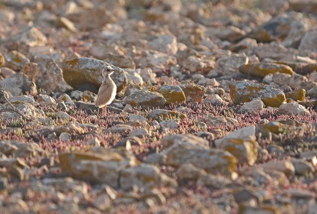 Chick of Cream-coloured Courser (about 10 days), Fuerteventura (Canary Islands), 15 February 2015 (Juan José Ramos / Birding Canarias).