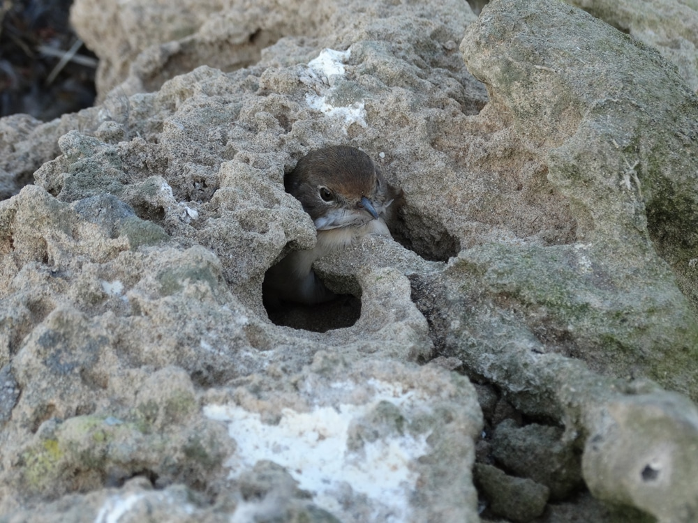 Common Whitethroat (Sylvia communis) immobilized in a small and deep rock hole, Mogador islands, Morocco, 27 Sep. 2014 (Abdeljebbar Qninba).