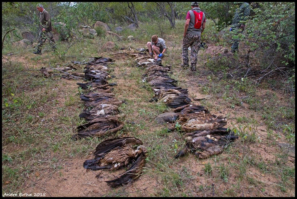 L'empoisonnement est la principale menace touchant les vautours. Cette photo montre 66 vautours qui ont été empoisonnés dans un incident au Derby ferme, Limpopo, Afrique du Sud, 7 mai 2015 (Andre Botha).