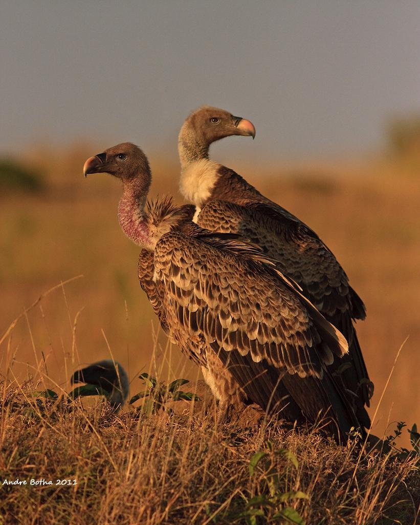 Vautours de Rüppell (Gyps rueppellii), Réserve nationale du Masai Mara, Kenya (Andre Botha). Des études dans l'Afrique de l'Ouest et de l'Est suggèrent que les populations de Vautour de Rüppell diminuent à un taux de 97% sur trois générations (ou 56 ans)