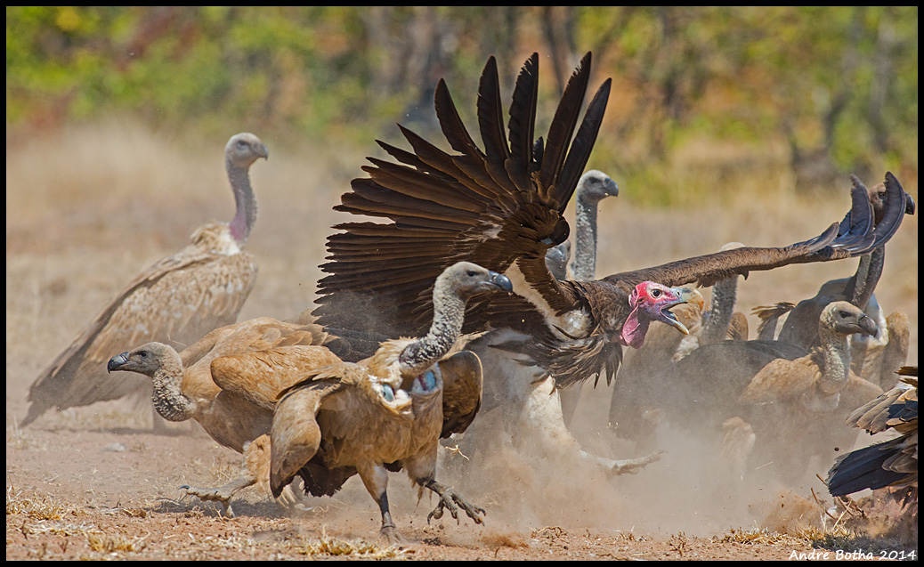 Lappet-faced (Torgos tracheliotus) and Cape vultures (Gyps coprotheres) at a carcass at Sable Dam, Kruger National Park, South Africa (Andre Botha). These two species appear to be declining at a rate of 80%–92% over three generations (about 45–48 years).
