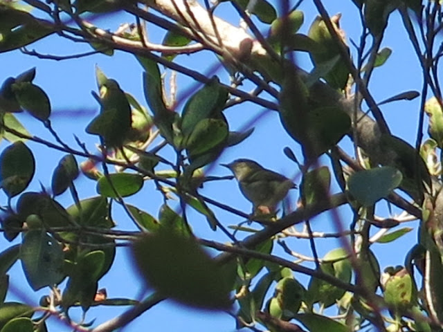 Yellow-browed Warbler (Phylloscopus inornatus), Botanical Garden in Rabat, 15 October 2015 (Pedro Fernandes).