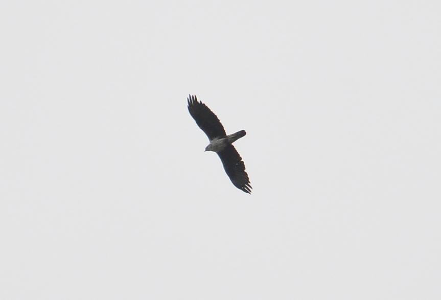 Bonelli's Eagle (Aquila fasciata) arriving at Jbel Moussa