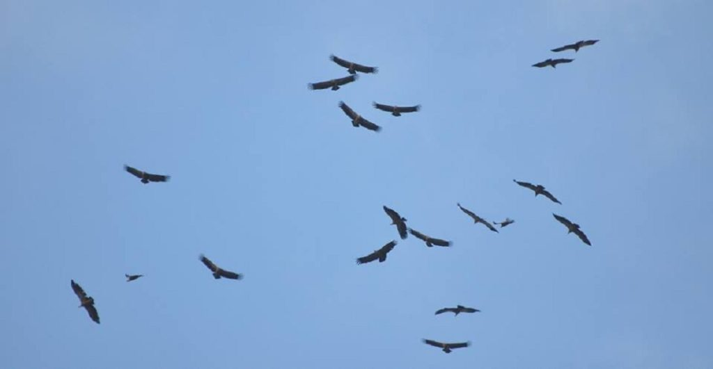 Griffon Vultures just arriving at Jbel Moussa after crossed the Strait of Gibraltar.