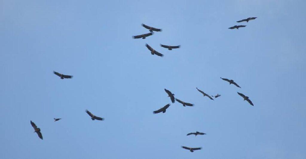 Griffon Vultures just arriving at Jbel Moussa after crossed the Strait of Gibraltar.