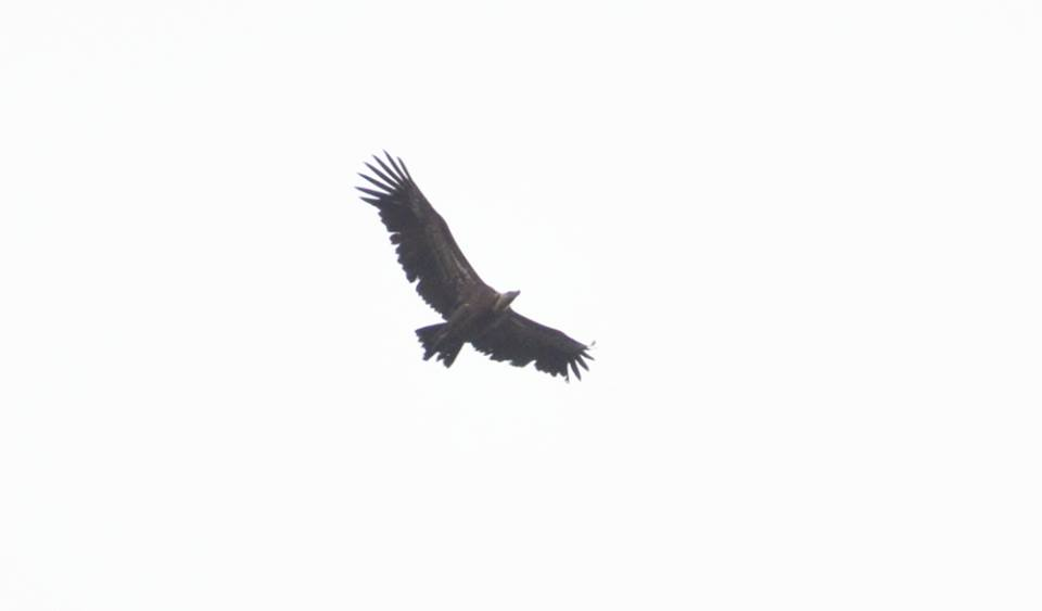 Rüppell's Vulture (Gyps rueppelli), arriving at Jbel Moussa