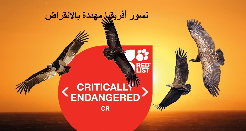 نسور أفريقيا مهددة بالانقراض يحذر الاتحاد الدولي للحفاظ على الطبيعة