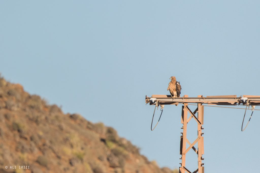 Two juvenile Spanish Imperial Eagles (Aquila adalberti) perching on electricity pylon, Guelmim region, Morocco, 22 Oct 2015 (Ali Irizi).