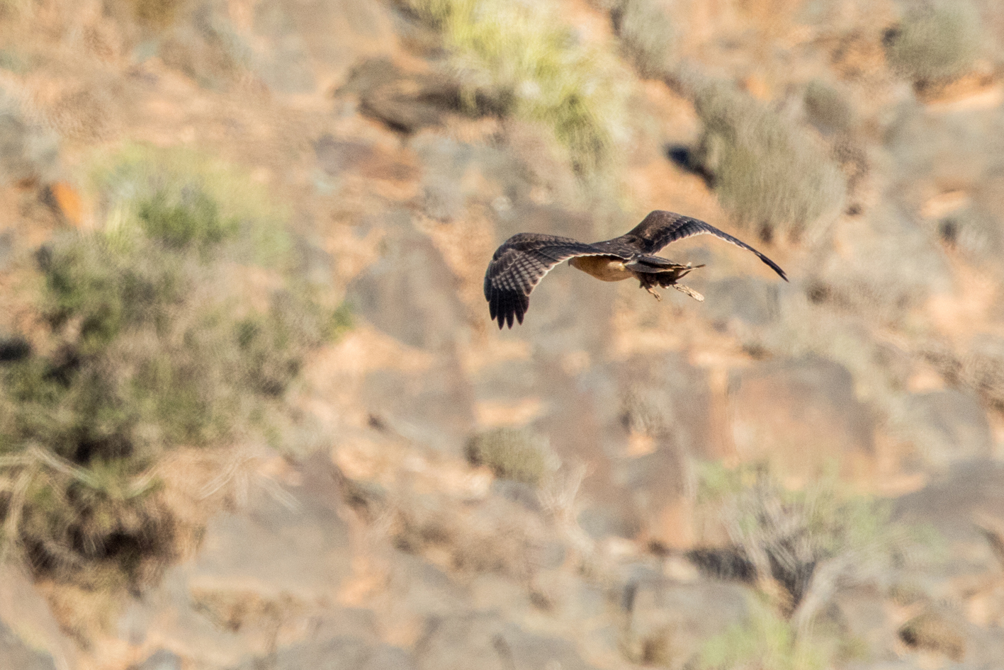 Bonelli's Eagle (Aquila fasciata) carrying a Fat Sand Rat (Psammomys obesus), Guelmim region, Morocco, 7 Nov 2015 (Ali Irizi)