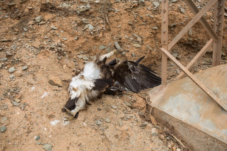 Golden Eagle (Aquila chrysaetos) electrocuted in the Guelmim region, 22 October 2015 (Ali Irizi)