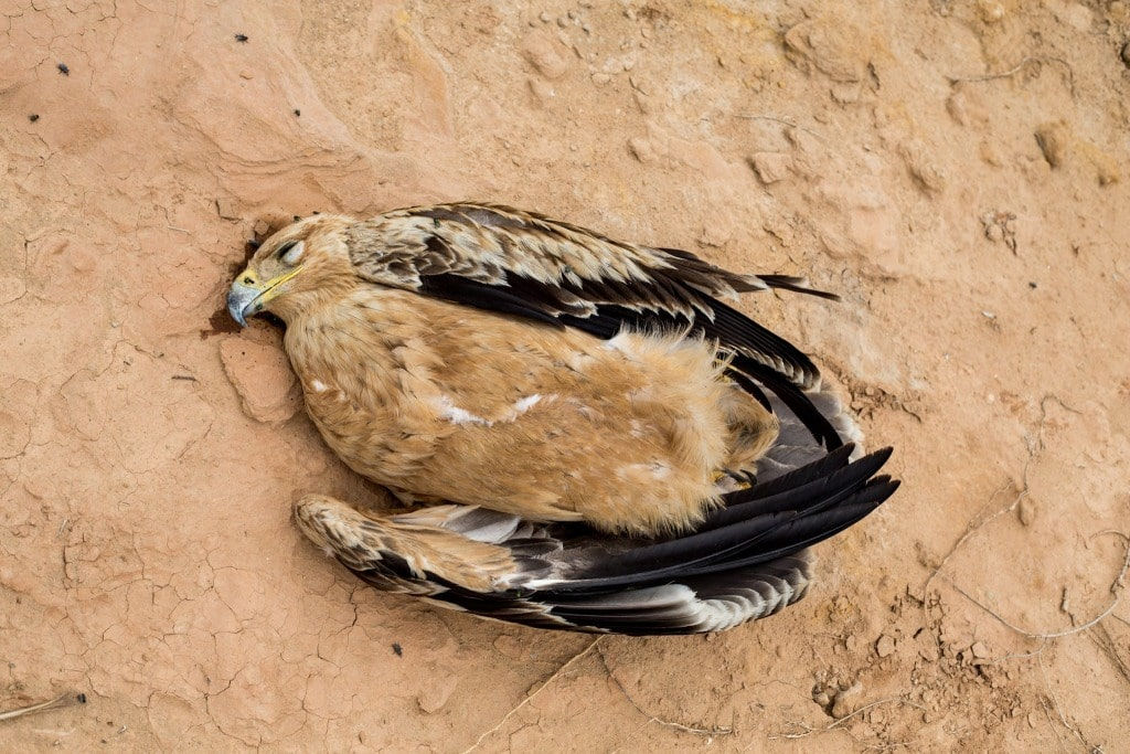 Bird 2: Spanish Imperial Eagle (Aquila adalberti) electrocuted in the Guelmim region, 22 October 2015 (Ali Irizi)
