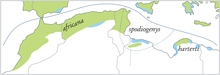 Breeding ranges of North African taxa of Common Chaffinch (Fringilla coelebs)
