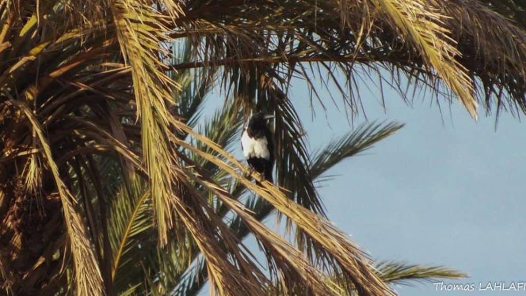 Pied Crow / Corbeau pie (Corvus albus) at Ouled Driss near M'hamid, eastern Sahara, Morocco, 1 Nov 2015 (Thomas S. Lahlafi)