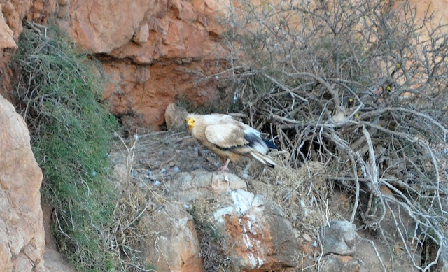 Egyptian Vulture (Neophron percnopterus) at the nest, Middle Atlas, Morocco