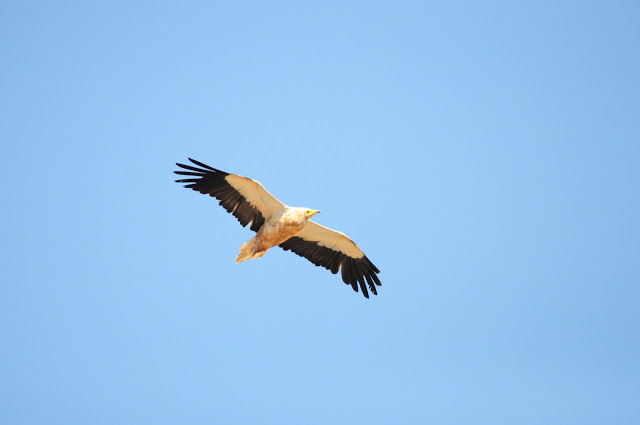 Adult Egyptian Vulture (Neophron percnopterus), Middle Atlas, Morocco