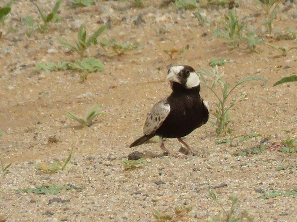 Adult male Black-crowned Finch-Lark (Eremopterix nigriceps)