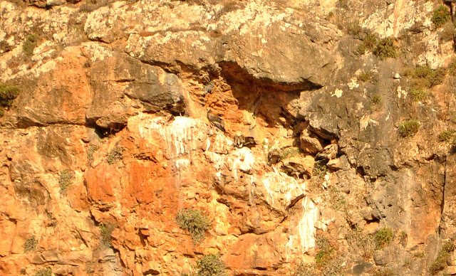 Communal roosting site of the Egyptian Vulture, Middle Atlas, Morocco (another view on the same cliff)