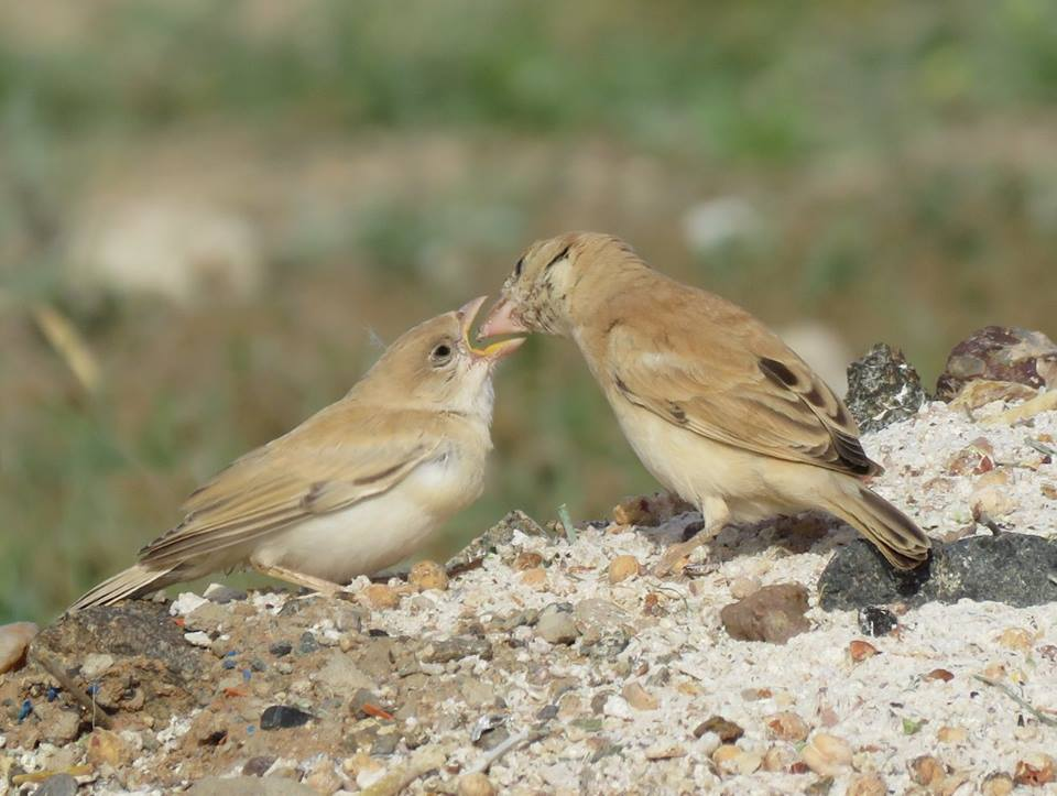 Adult female Desert Sparrow (Passer simplex) feeding young.