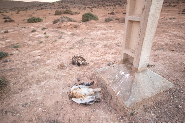 Two electrocuted Bonelli's Eagles (Aquila fasciata), Guelmim region, 5 December 2015 (Ali Irizi)