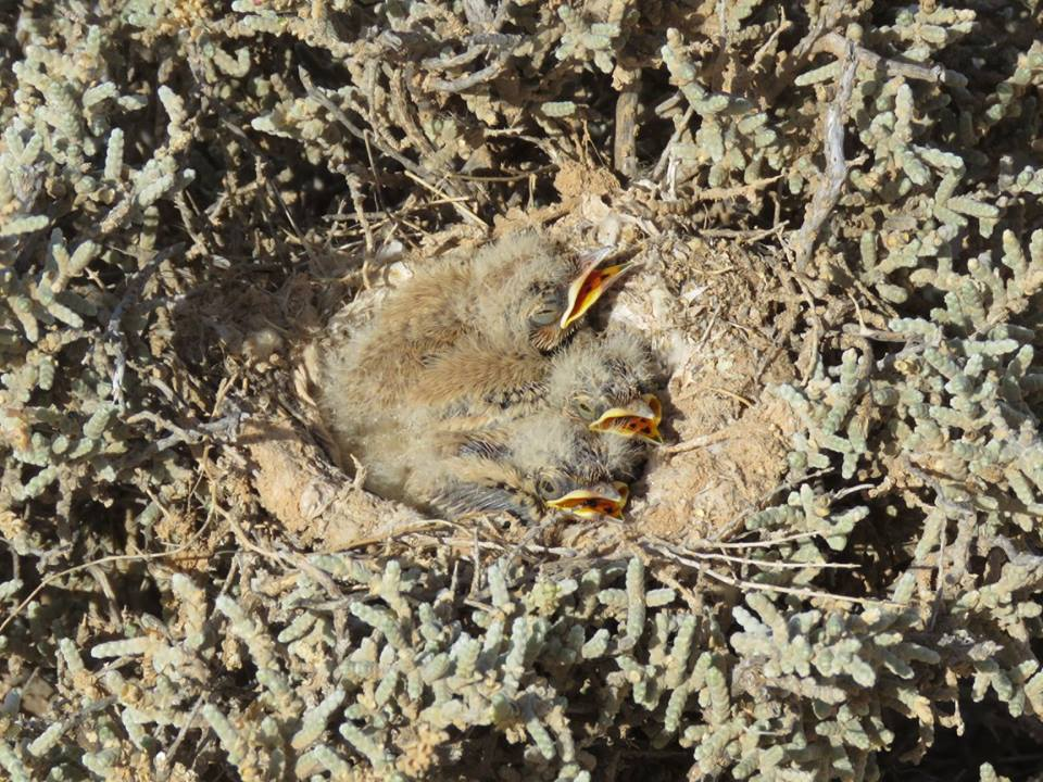 Nest of Greater Hoopoe-Lark (Alaemon alaudipes) with three chicks.