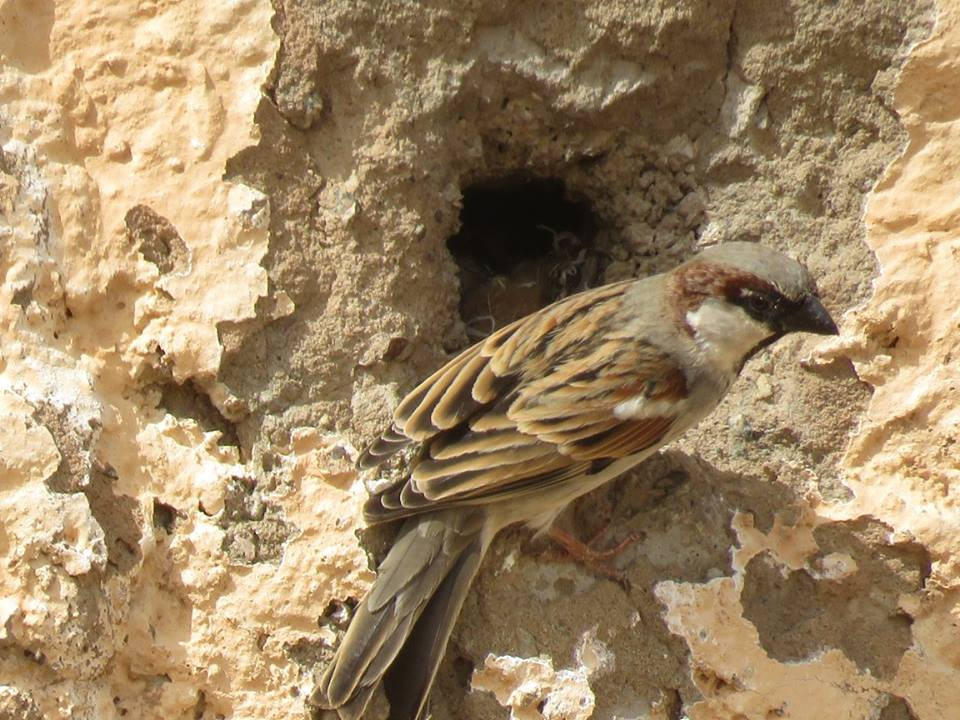 Nest of House Sparrow (Passer domesticus) near Hassi Bougouffa, Adrar Sottouf.
