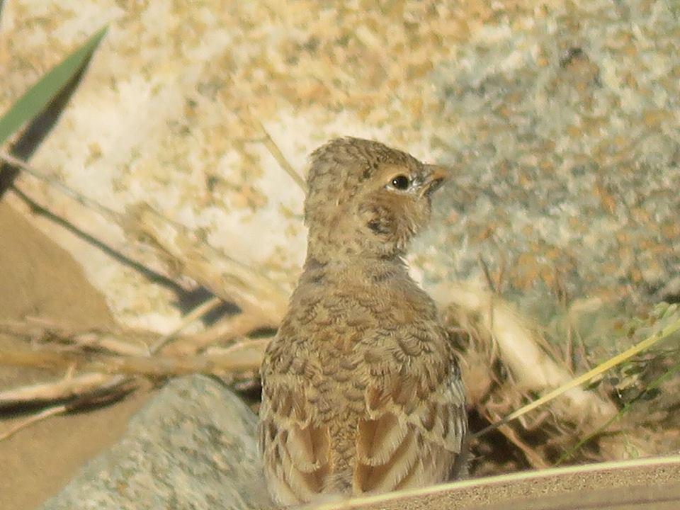 Juvenile Black-crowned Finch-Lark (Eremopterix nigriceps)