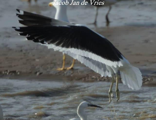 Cape Gull (Larus dominicanus vetula), Anza, Morocco, 25 January 2016. (Jacob Jan de Vries)