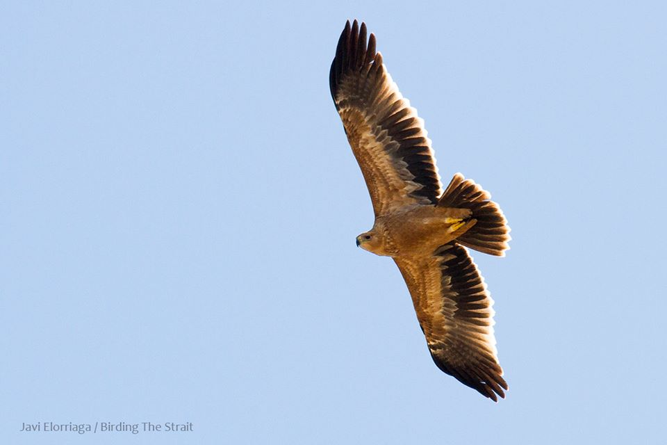 Juvenile Spanish Imperial Eagle (Aquila adalberti) seen at Tarifa, Spain about to cross the Strait of Gibraltar to Morocco