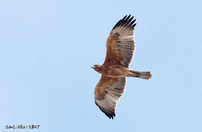 Bonelli's Eagle 'Zahara' passing through the Strait of Gibraltar