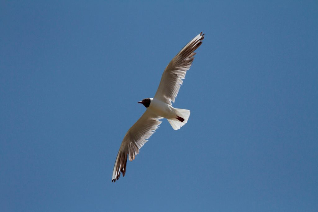 Black-headed Gull (Chroicocephalus ridibundus) at the breeding colony, Sidi Moussa, 20 June 2014