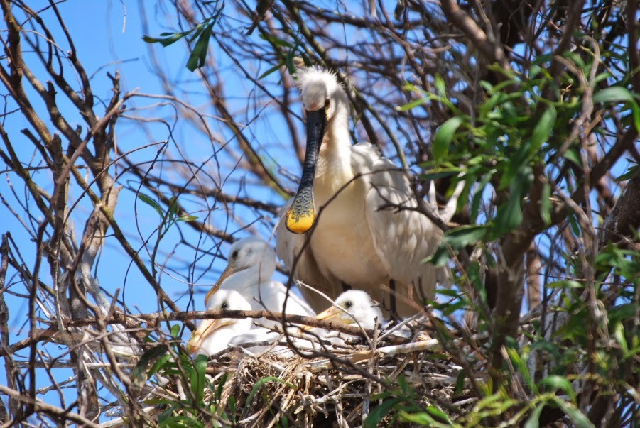 Eurasian Spoonbill nest at Smir heronry, northern Morocco (Rachid El Khamlichi)