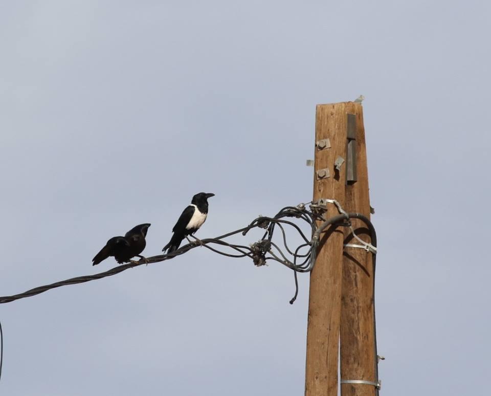 Pied Crow / Corbeau pie (Corvus albus), Mhamid, eastern Sahara, Morocco, 31 Dec. 2017 (Brahim Bakass).