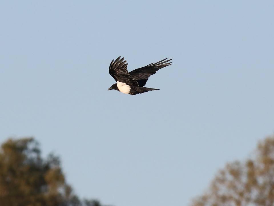 Pied Crow (Corvus albus - Corbeau pie), Mhamid, eastern Sahara, Morocco, 22 Jan. 2017 (Brahim Bakass)