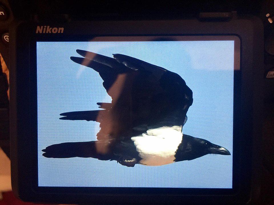Pied Crow (Corvus albus), Mhamid, eastern Sahara, Morocco (Christian Cederroth / AviFauna Naturresor)