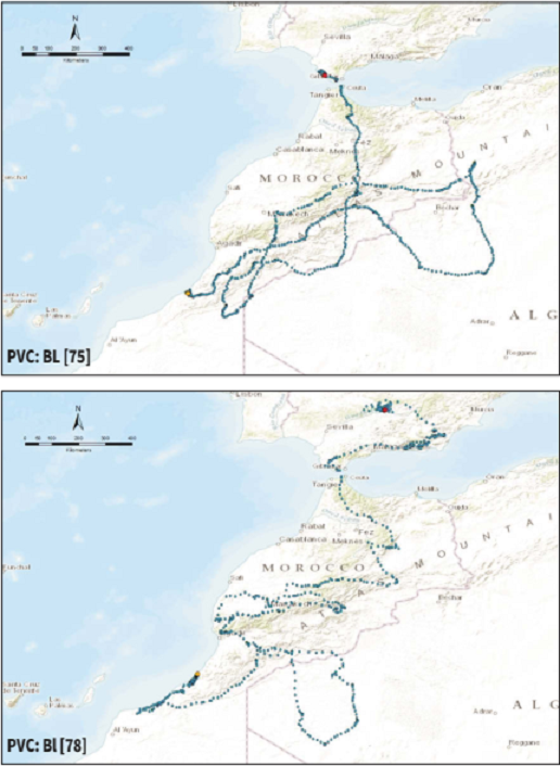The African routes of the Spanish Imperial Eagles tracked by satellite from Andalusia, Spain. Here is shown only the birds that traveled well inside western Algeria before going back to Morocco.