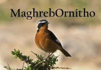 Maghreb Ornithology