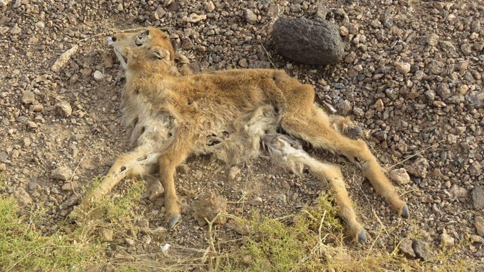 Corpse of young Barbary sheep - Mouflon à manchettes (Ammotragus lervia)